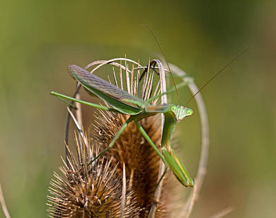 Praying Mantis Photograph - Howdy by Betsy Knapp