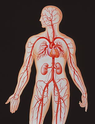 Human Arterial System Art Print by John Bavosi