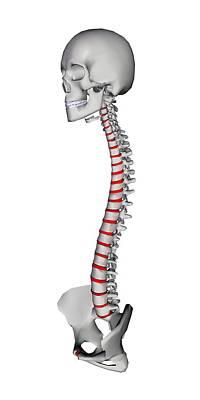Human Backbone, Artwork Art Print by Friedrich Saurer