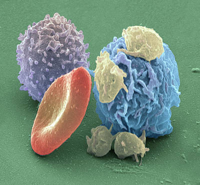Human Blood Cells, Sem Art Print by Steve Gschmeissner