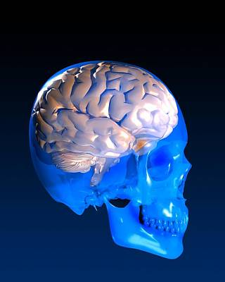 Human Brain And Skull, Artwork Art Print