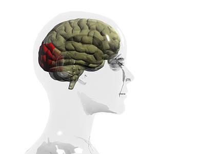 Discrimination Photograph - Human Brain, Occipital Lobe by Christian Darkin