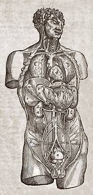 Human Male Torso, 16th Century Print by Middle Temple Library