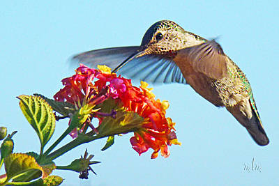 Photograph - Hummer And Lantana 1 by Marie Morrisroe