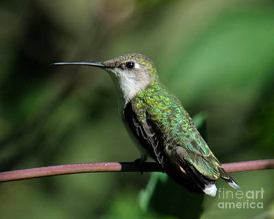 Photograph - Hummer by Craig Leaper