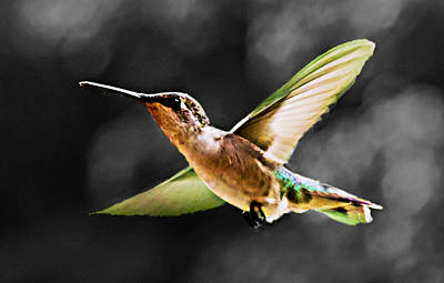 Photograph - Hummer In Flight by Barry Jones