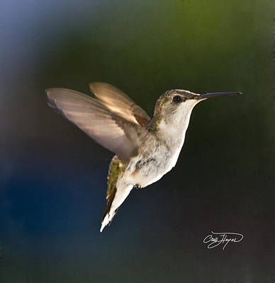 Photograph - Hummer In Spring Morning Sunshine - Artist Cris Hayes by Cris Hayes