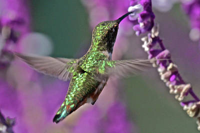 Hummer Art Print by Paul Marto