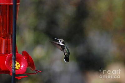 Photograph - Humming Bird In Flight by Mark McReynolds