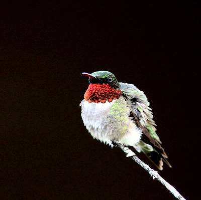 Hummingbird - Ruffled Feathers Art Print