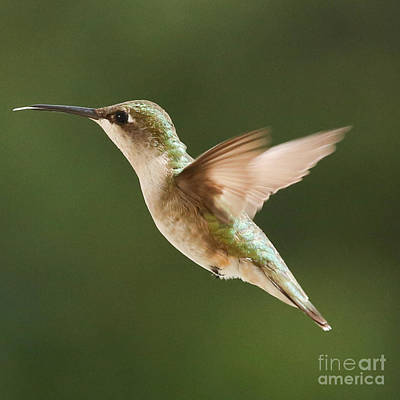 Hummingbird 1 Art Print by Lori Whalen