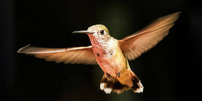 Photograph - Hummingbird  by Albert Seger