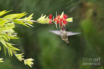 Photograph - Hummingbird And Bottlebrush by Jim And Emily Bush