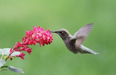 Tasting Photograph - Hummingbird And Currant by Angie Vogel