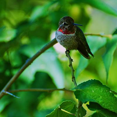 Photograph - Hummingbird At Rest by Eric Tressler