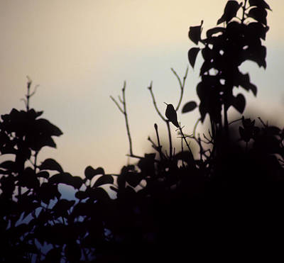 Photograph - Hummingbird At Sunset by John Brink