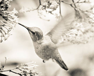 Art Print featuring the photograph Hummingbird At The Valerian by Ronda Broatch