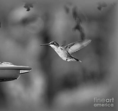 Hummingbird  Black And White Art Print by Donna Brown