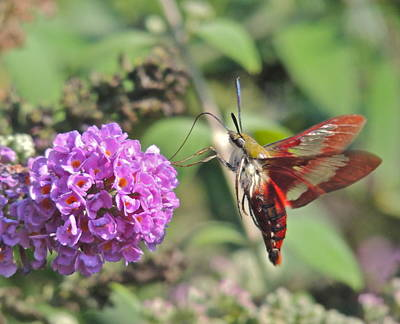 Photograph - Hummingbird Clearwing Moth by Eve Spring