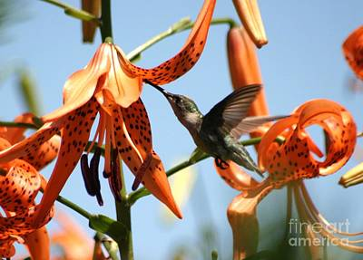 Photograph - Hummingbird Days by Living Color Photography Lorraine Lynch