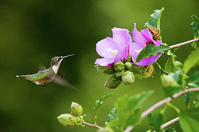 Photograph - Hummingbird Delight by Steve Stuller