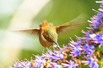 Y120831 Photograph - Hummingbird by Eric Lo