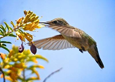 Photograph - Hummingbird Feeding by Matt MacMillan