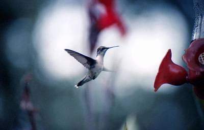Photograph - Hummingbird by Lynnette Johns