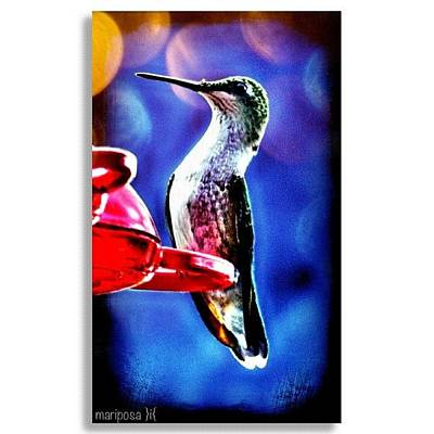 Edit Photograph - Hummingbird by Mari Posa