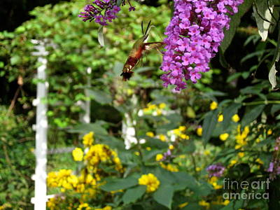 Photograph - Hummingbird Moth In Flight  by Nancy Patterson