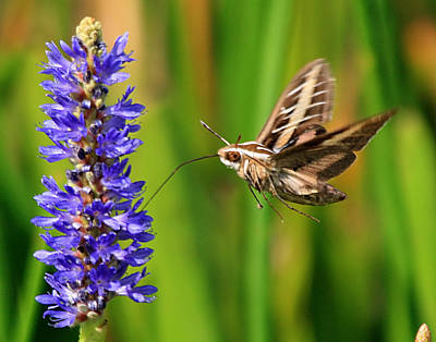Photograph - Hummingbird Moth by Ira Runyan