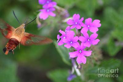 Photograph - Hummingbird Moth by Living Color Photography Lorraine Lynch