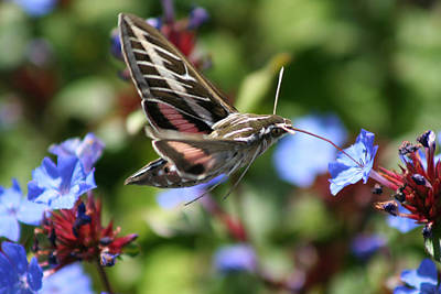 Photograph - Hummingbird Moth by Ric Bascobert