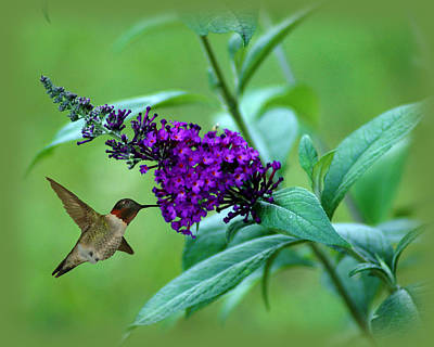 Photograph - Hummingbird On Butterfly Bush by TnBackroadsPhotos