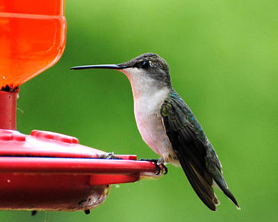 Photograph - Hummingbird On Feeder by Jai Johnson
