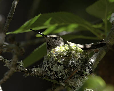 Art Print featuring the photograph Hummingbird On Nest by Betty Depee