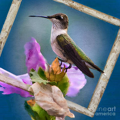 Rose Of Sharon Photograph - Hummingbird Picture Pretty by Betty LaRue