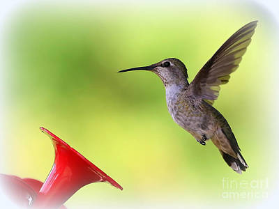 Photograph - Hummingbird Posture by Carol Groenen