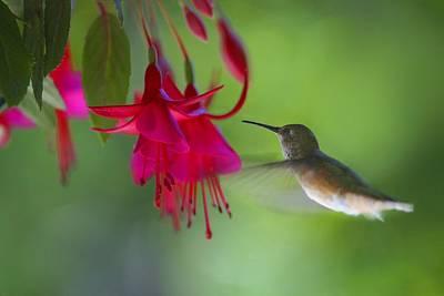 Fluttering Photograph - Hummingbird by Raven Regan
