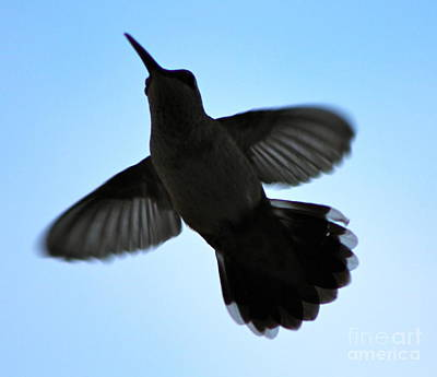Photograph - Hummingbird Silhouette by Pamela Walrath