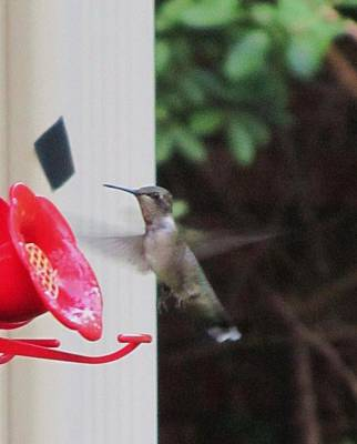 Photograph - Hummingbird by Todd Sherlock