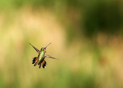 Photograph - Hummingbird Turnabout by Adam Pender