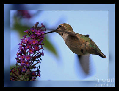 Photograph - Hummingbird With Blue Border - Digital Painting by Carol Groenen
