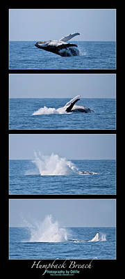 Photograph - Humpback Breach Sequence by Odille Esmonde-Morgan
