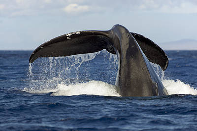Sealife Art Photograph - Humpback Tail by Dave Fleetham