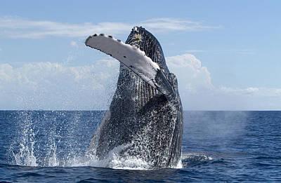 Photograph - Humpback Whale Breaching Maui Hawaii by Flip Nicklin