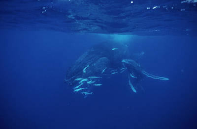 Remoras Photograph - Humpback Whale Calf And Mother by Alexis Rosenfeld