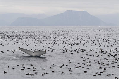 Humpback Whale Diving Amid Seabirds Print by Flip Nicklin