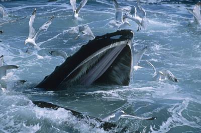 Humpback Whale Gulp Feeding Art Print