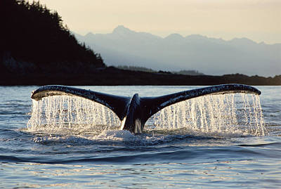 Baleen Whale Photograph - Humpback Whale Megaptera Novaeangliae by Matthias Breiter